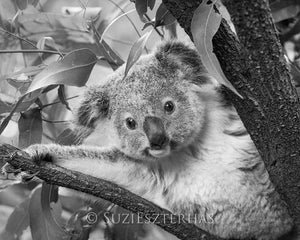 Koala Peek-a-boo Photo