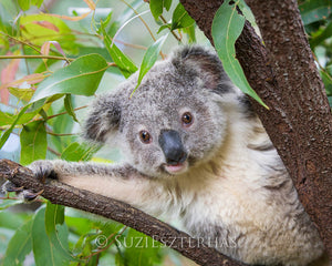 Koala in a tree playing peek a boo