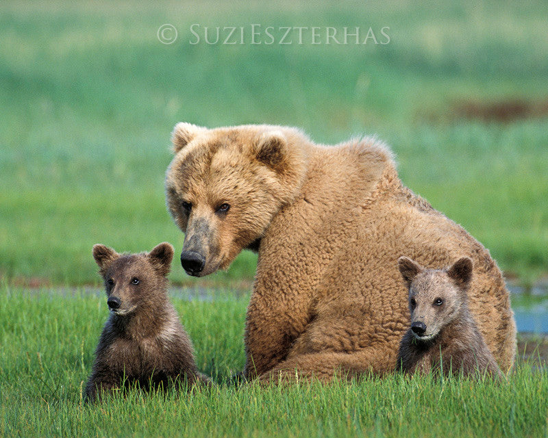 Mom and baby grizzly bears - color photo