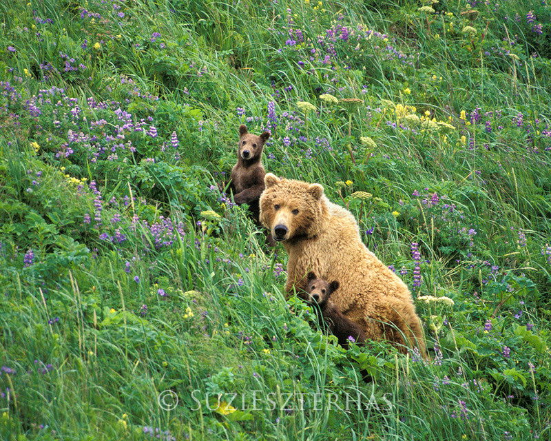 Mother and baby grizzly bears in flowers - color photo