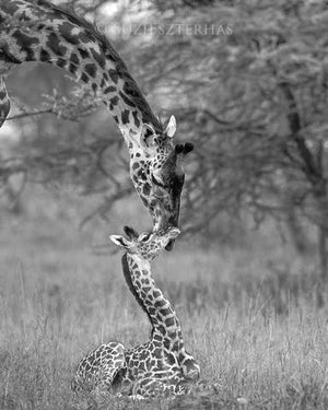 Mom and Baby Giraffe Photo