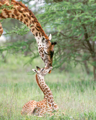 Mom and baby giraffe - color photo