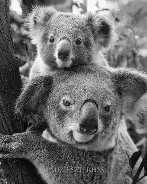 Mom and Baby Koala Photo