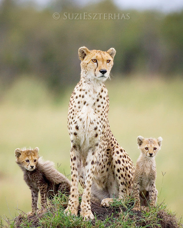 Mom cheetah with two cubs - color photograph