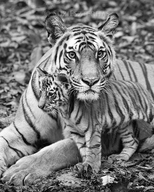 Mom and baby animals photo set - Tigers - black and white