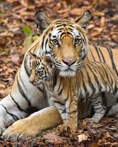 Mom and baby animals photo set - Tigers