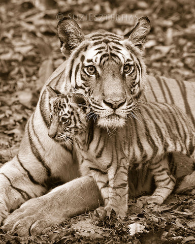 Mom and baby animals photo set - Tigers - sepia