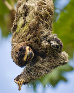 Mom and baby sloth hanging