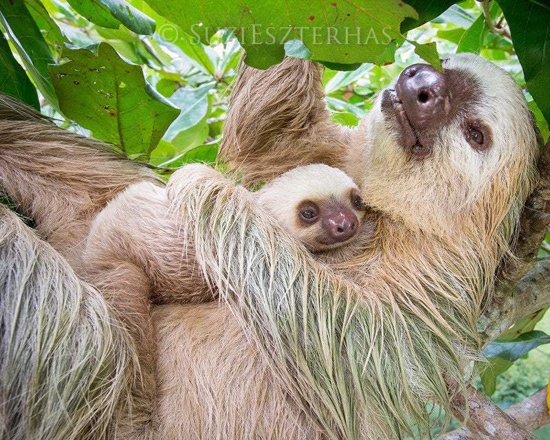 Mom and baby sloth snuggling