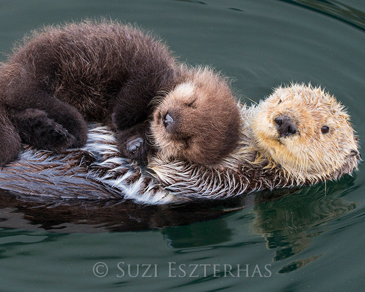 Mom and baby sea otter floating