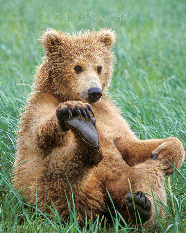 Playful grizzly bear cub - color photo