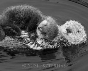 Baby Sea Otter on Mom's Belly Photo