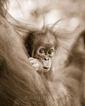 Shy Baby Orangutan Photo