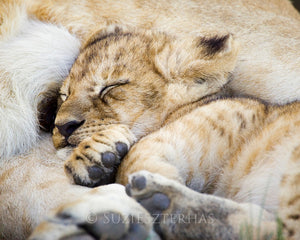 Sleepy baby lion