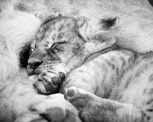 Sleepy Baby Lion Photo