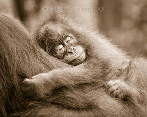 Sleepy Baby Orangutan Photo