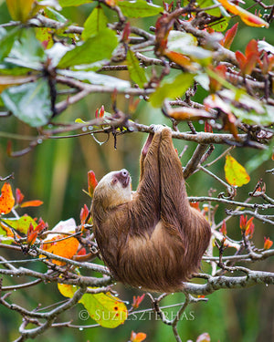 Sloth sleeping in a tree