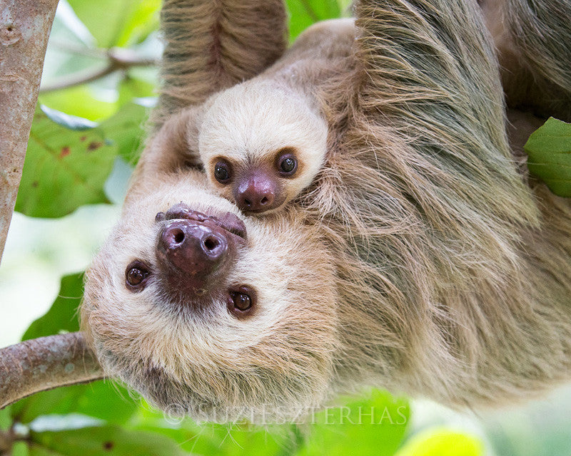Sweet mom and baby sloth