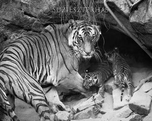 Tiger Mom and Cubs in Den Photo
