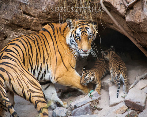 Tiger mom and cubs in den