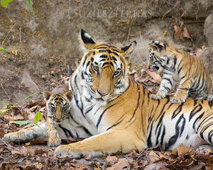 Tiger mom and cubs