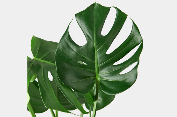 How to care for your live Philodendron houseplants