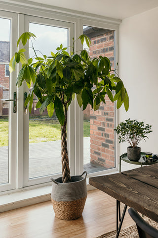 5 Fascinating facts about the Money Tree
