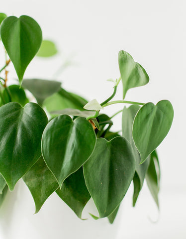 Philodendron houseplants that thrive in the dark
