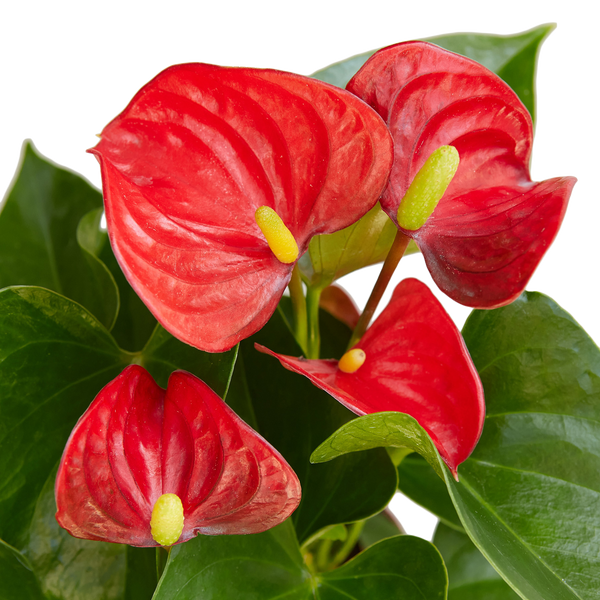 Live Anthurium Flowing Flamingo Exotic Plants