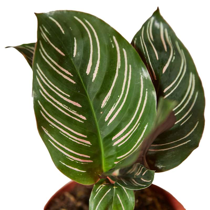 Calathea Ornata Colorful Pet Friendly Houseplants for sale