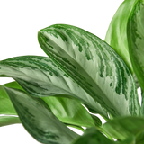 Chinese Evergreen large foliage houseplants for sale.