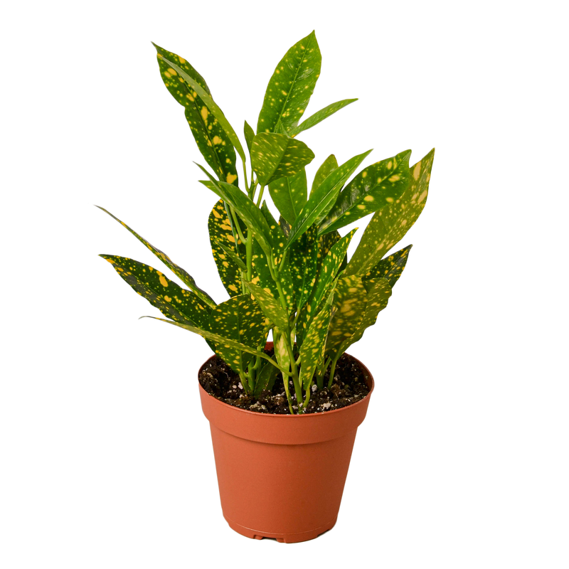 Croton Variety Bundle Pack - 2 Plants
