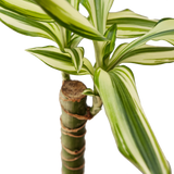 Live Bamboo palm tree tropical houseplant