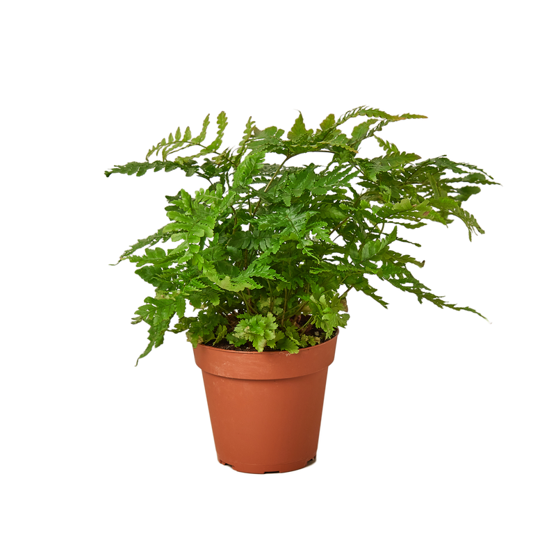 Live fern plants variety pack for sale