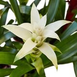Live Flowering Guzmania Bromeliad Houseplants