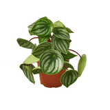 Live Peperomia Houseplants Variety Pack For Sale