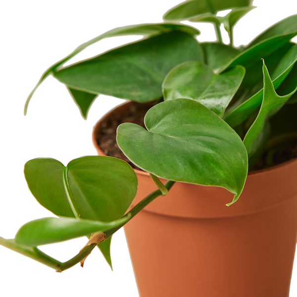 Philodendron Cordatum Heartleaf Easy care houseplants