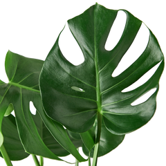 Philodendron Monstera Swiss Cheese Houseplant