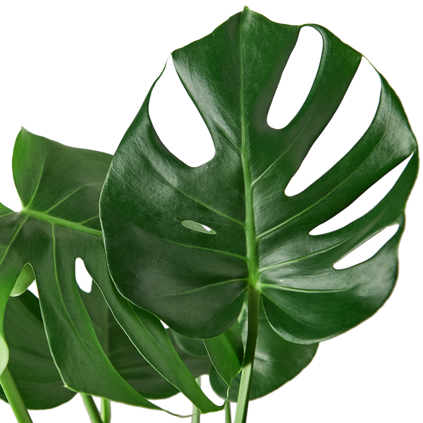 Philodendron Monstera Swiss Cheese Large Houseplants