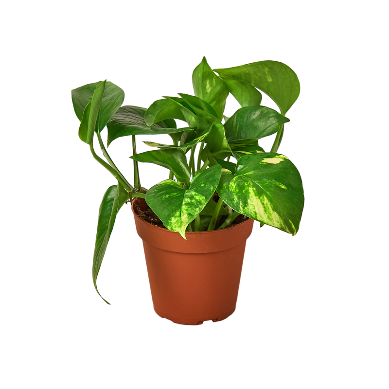 Dynamic Duo Collection - Arabica Coffee & Pothos Golden