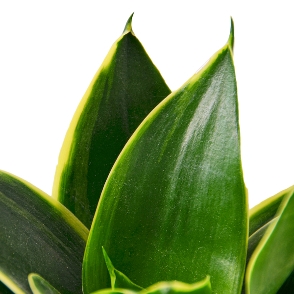 Snake Plant Emerald Star Air Purifying Low Maintenance Houseplants