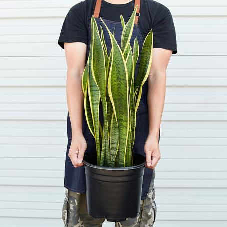 Extra large snake plants for low light areas. Easy care houseplants