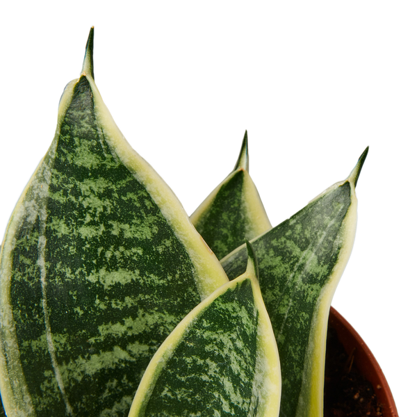 Snake Plant Laurentii Dwarf Air Purifying Houseplants
