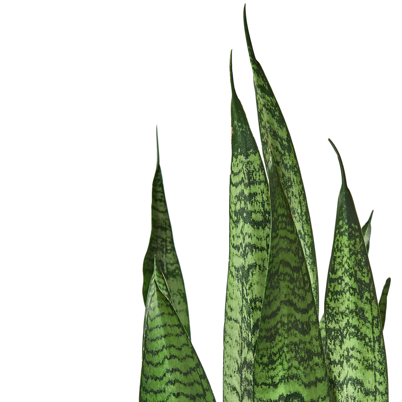 Extra large snake plant houseplant. Houseplants for low light spaces.