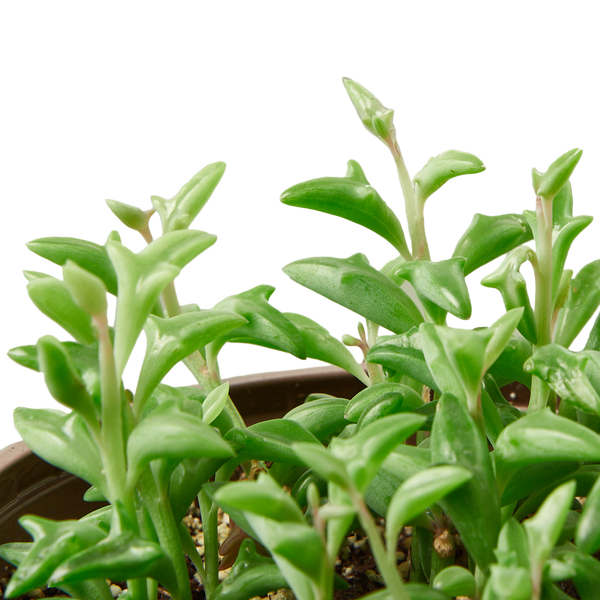 "4"" String of Dolphins Live Succulent Plant"