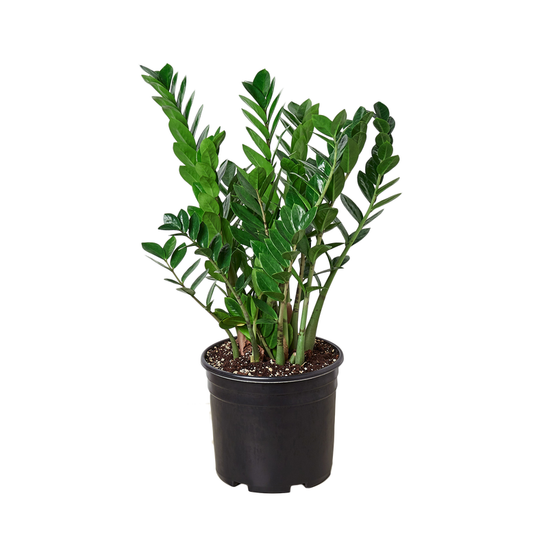 Live ZZ House Plant Air Purifying Indoor Plants