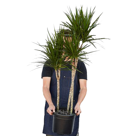 Extra large dracaena tropical houseplants delivered to your door.