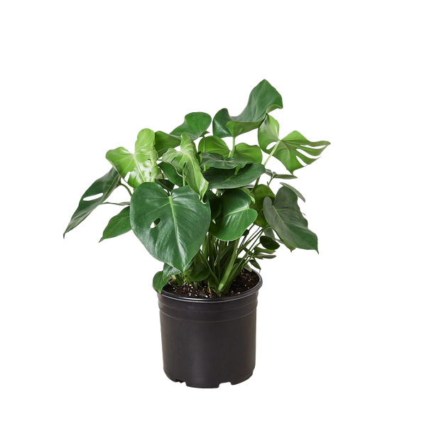 "Extra Large Philodendron Monstera Split-Leaf - 10"" Pot"