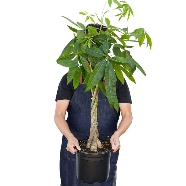 "Extra large braided money tree in 10"" pot"