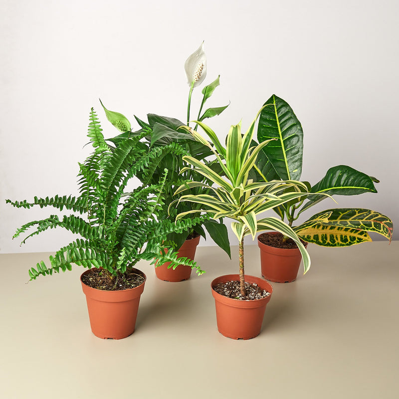 Air Purifying House plant bundle packs.